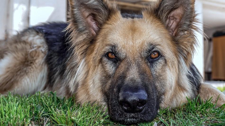 Muere el primer perro que dio positivo en prueba de coronavirus en Estados Unidos