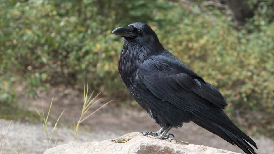 ¿Cuervo ladrón? El ave se llevó el dinero de un joven y todo fue grabado por una cámara de seguridad