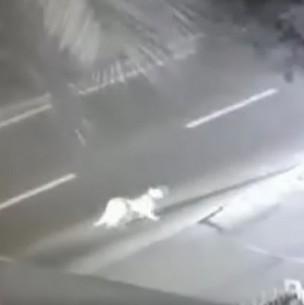 Cámaras de seguridad registran la presencia de un puma en Huechuraba