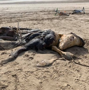 Hallazgo misterioso: Encuentran una extraña criatura en una playa de Inglaterra