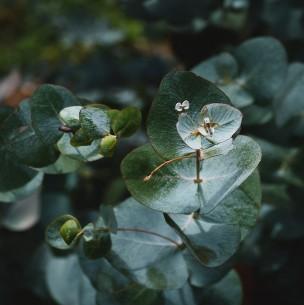 Inventan collares y ungüentos con eucalipto para atacar el coronavirus