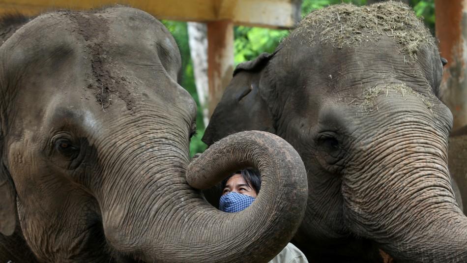 Zoológico administrará a sus elefantes cannabis médico para intentar reducir su nivel de estrés