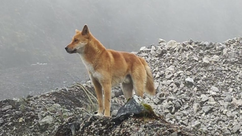 Animal que se creía extinto reaparece tras medio siglo: Perro cantor fue visto en Indonesia