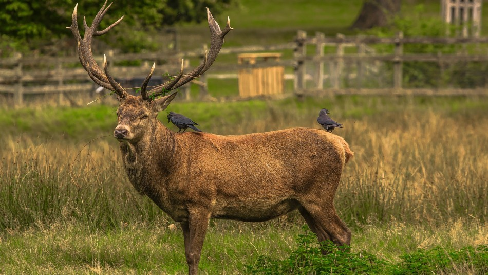 Ciervo herido mata a cazador que le disparó una flecha: Lo atacó con sus astas