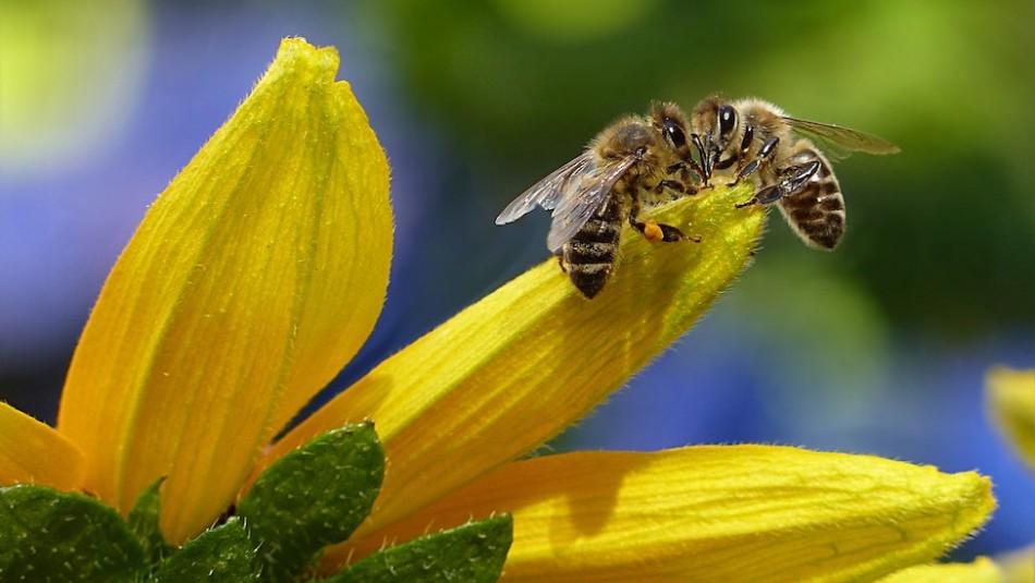 El veneno de las abejas mata las células agresivas del cáncer de mama