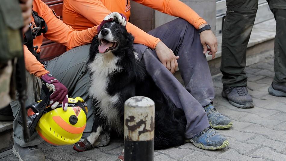 Perro de rescatistas chilenos resulta lesionado durante labores de búsqueda en Beirut
