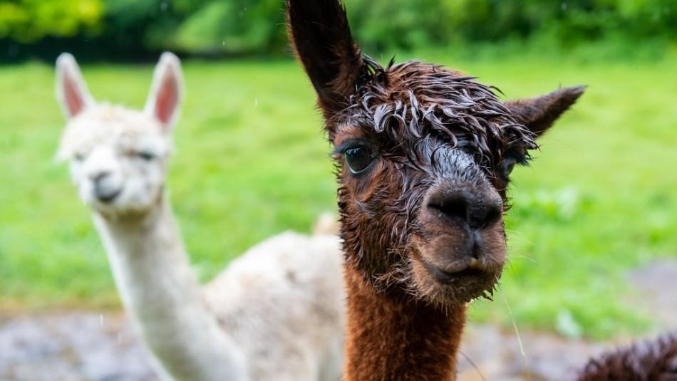 Coronavirus: Posible terapia chilena con anticuerpos de alpacas peligra por falta de recursos