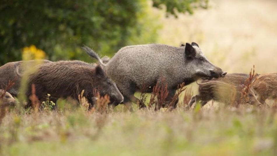 Confirman primer caso de peste porcina africana en Alemania