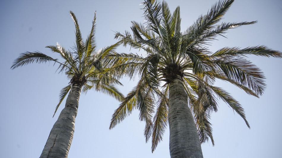Concurso mundial de especies en peligro: Hasta este viernes puedes votar por la Palma Chilena
