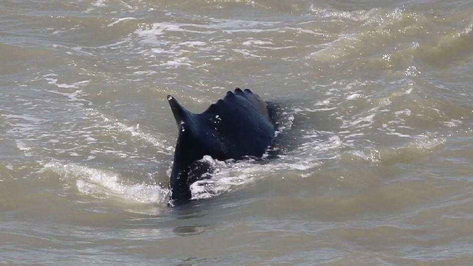 Ballenas jorobadas deambulan por un río infestado de cocodrilos en Australia
