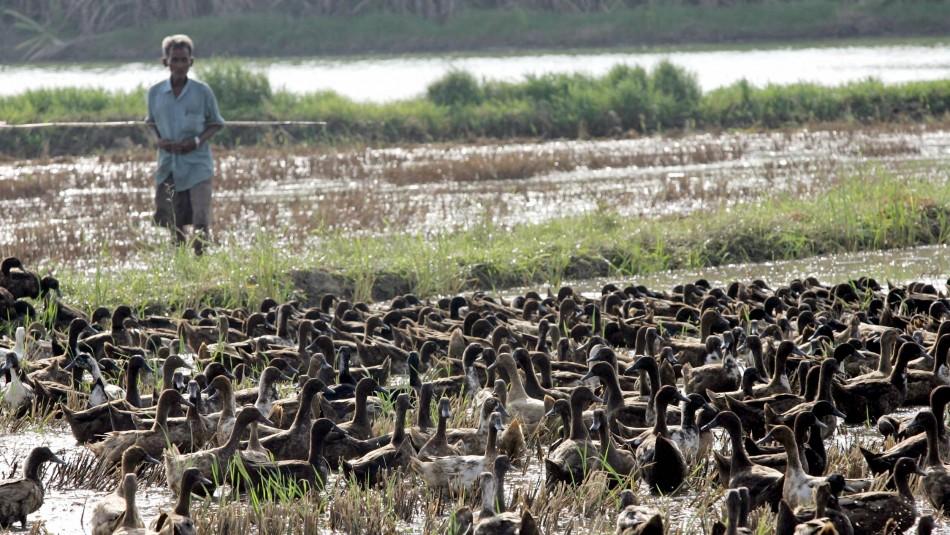 10 mil patos liberados en Tailandia.