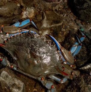 El temible cangrejo azul que ahora los españoles se comen con arroz