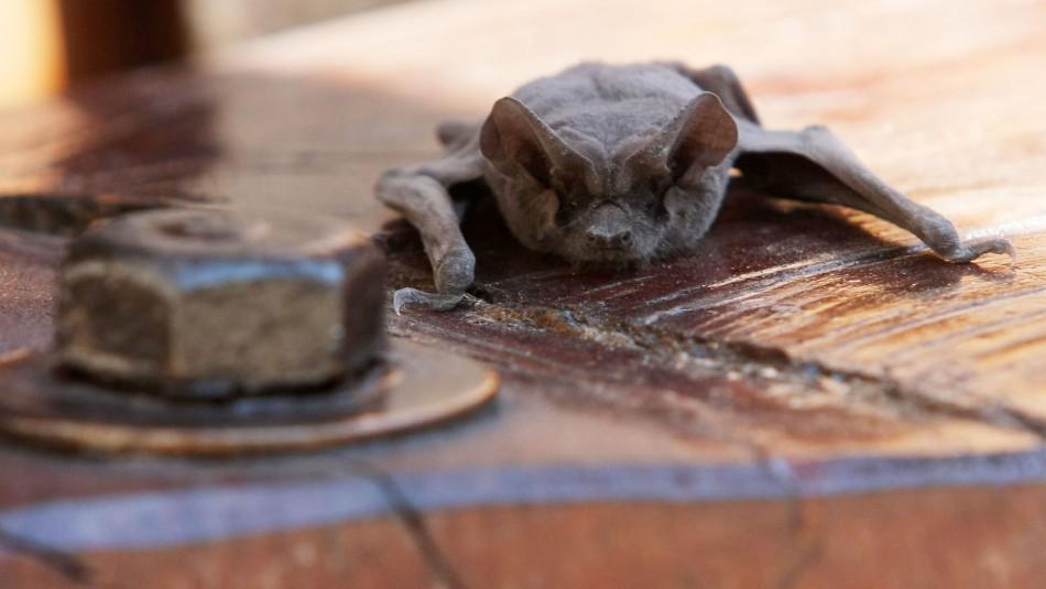 Hallan murciélago con rabia en Panguipulli: Es el quinto caso del año en la región de Los Ríos
