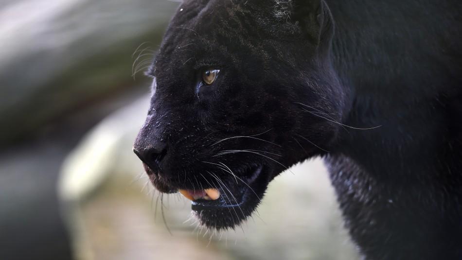 Buscan a pantera negra suelta por un pueblo en España