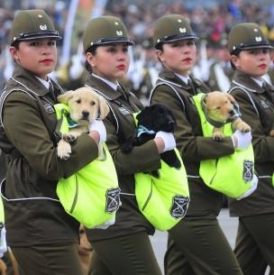 Así es la formación de los cachorros de Carabineros que se llevan las miradas en Parada Militar