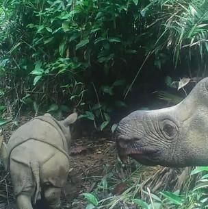 Especie en peligro de extinción: Avistan dos crías de rinocerontes de Java en Indonesia