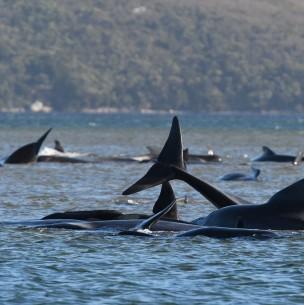 Gran operativo para rescatar más de 250 ballenas varadas en Australia