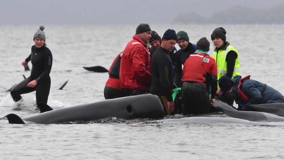 Al menos 380 ballenas murieron varadas en el sur de Australia