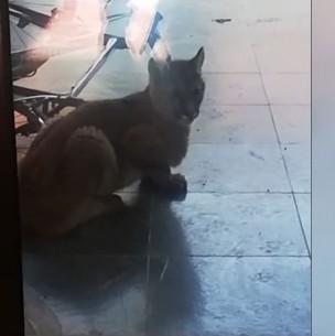 Graban a cachorro de puma al interior de una casa en Las Condes