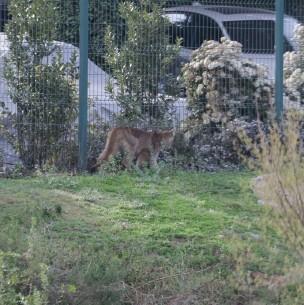 Capturan a cachorro de puma en quebrada de Las Condes: Ahora buscan atrapar a su madre