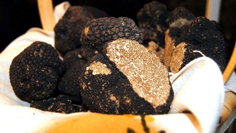 Chile es líder en la producción de la trufa: El