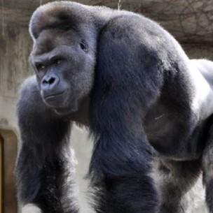 Gorila ataca a una cuidadora y la deja en estado grave en un zoológico de Madrid