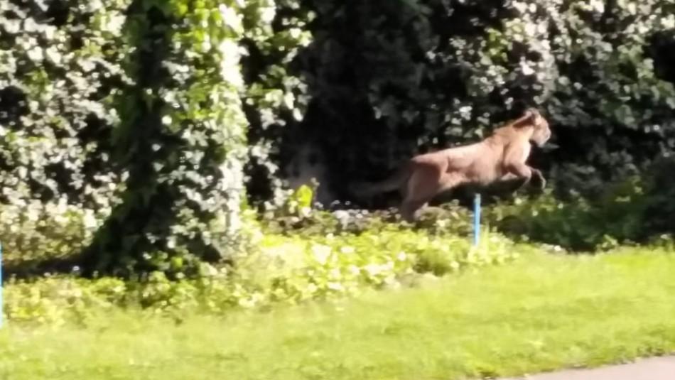 Capturan a uno de los dos pumas divisados en Las Condes