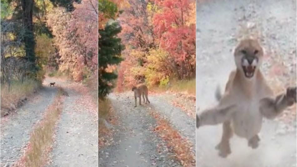 Asistir Continental cocinero  Excursionista encuentra una cría de puma en su caminata pero también a la  furiosa madre - Meganoticias