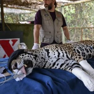 Amanaci, la jaguar herida por las llamas que no sabe si podrá volver al Pantanal