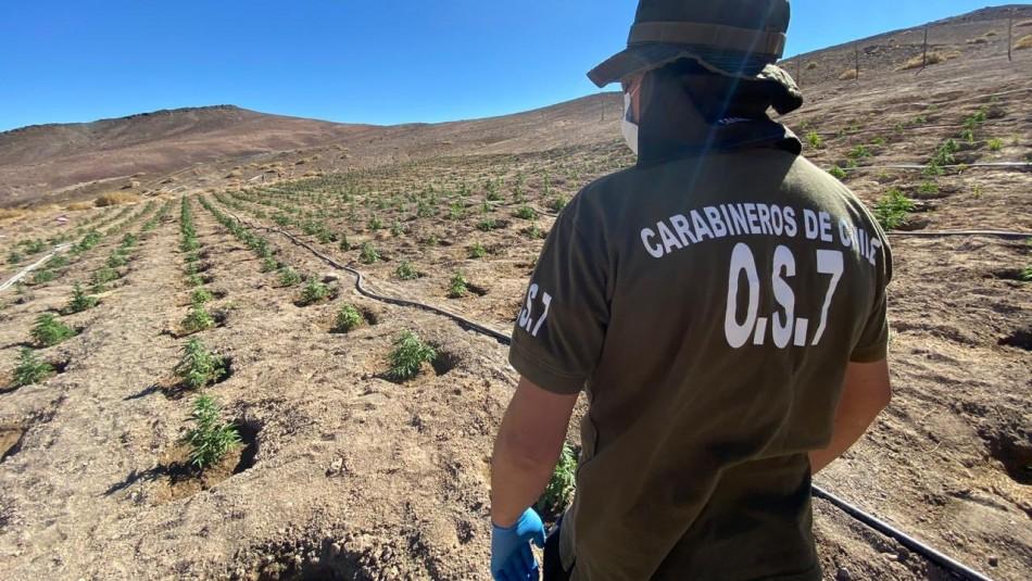 Más de 1.200 plantas: Decomisan cultivo de marihuana en el desierto