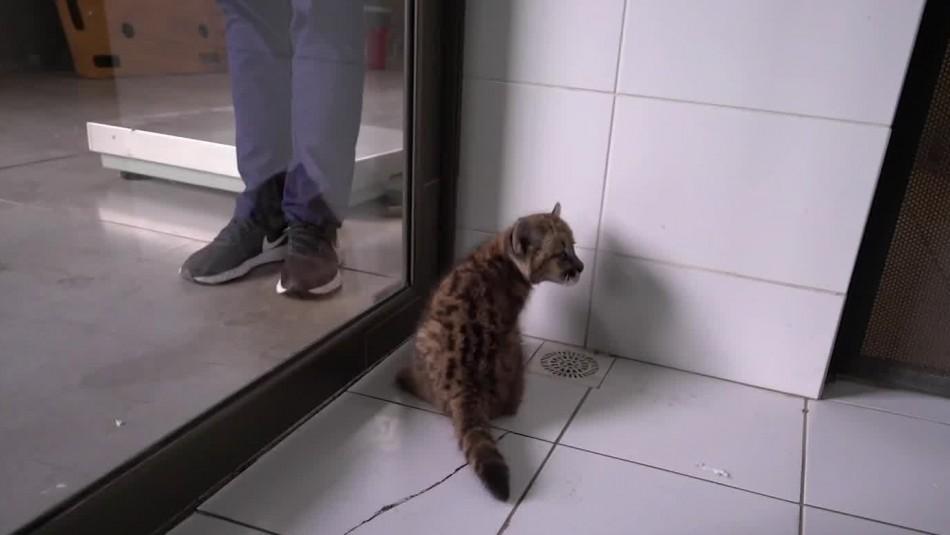 Vuelco en caso de puma: No será devuelto a su hábitat porque familia lo habría