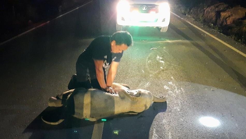 Paramédico le salvó la vida a elefante bebé que fue atropellada por motociclista