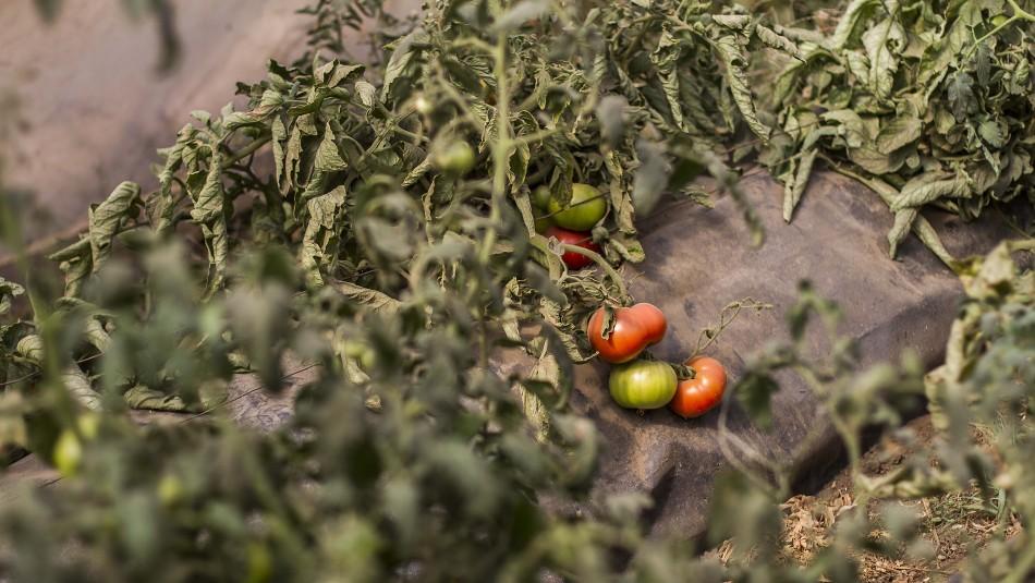 Derrumbe en canal Las Mercedes: Agricultores sufren pérdidas millonarias en Curacaví