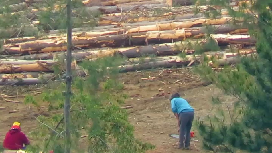 Bandas utilizan maquinaria pesada para realizar millonarios robos de madera en el sur