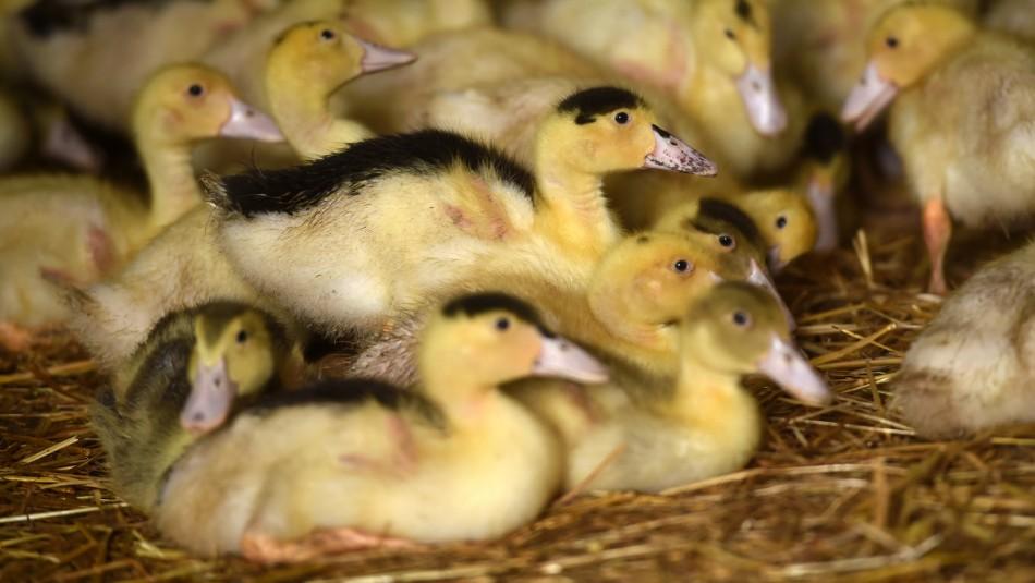 Brote de gripe aviar en Francia: Sacrifican a miles de patos por virus