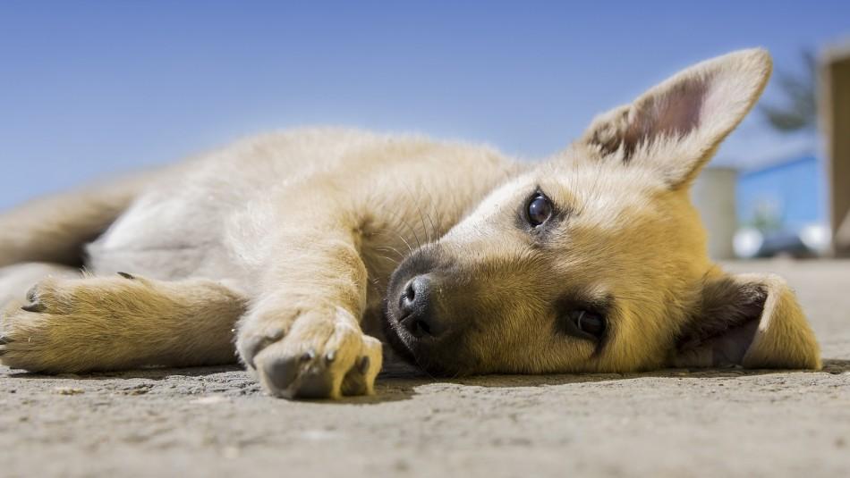 Conoce algunos síntomas del resfrío en perros y cómo tratarlo