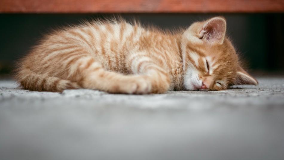 ¿Tu gato tiembla cuando duerme? Conoce las razones por las que puede suceder esto