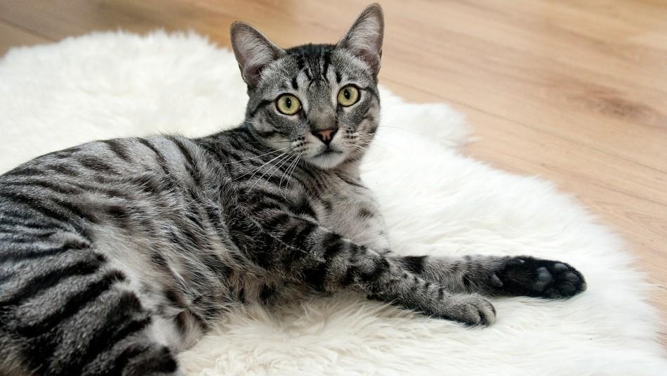 ¿Sabes qué edad tiene tu gato? Revisa esta tabla y te sorprenderás