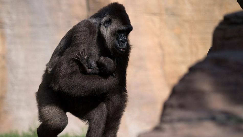 Gorilas de zoológico de EE.UU. se contagian de coronavirus