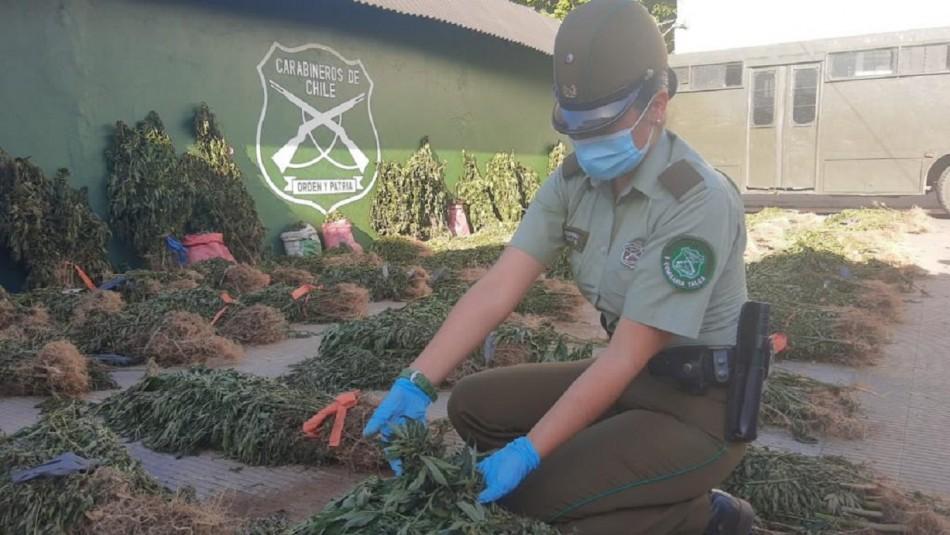 Decomisan más de 14 mil plantas de marihuana en la precordillera