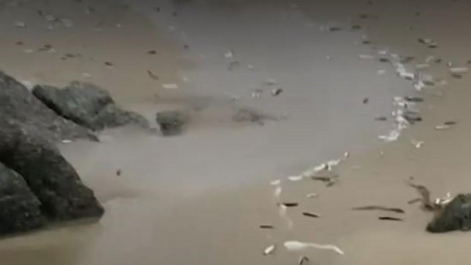 Cientos de peces aparecen varados y sorprenden a los habitantes de Punta de Tralca