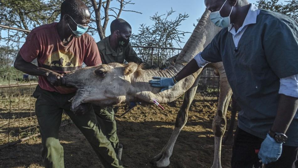 Primo del coronavirus: Kenia busca el próximo virus mortal entre dromedarios reacios a los PCR
