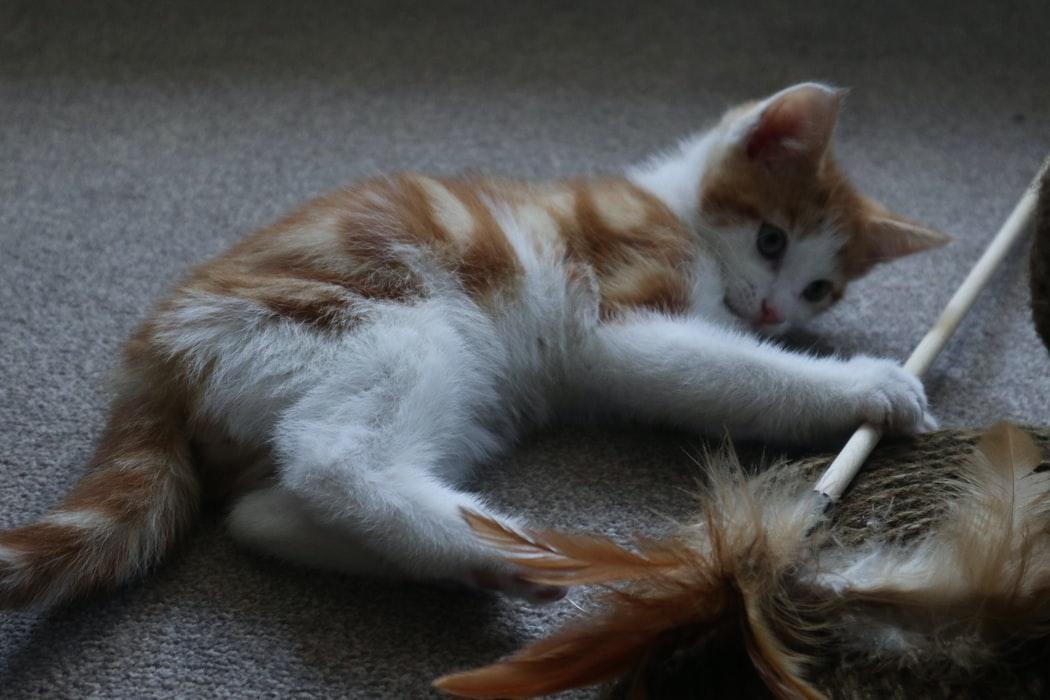 Gato jugando con una vara con plumas