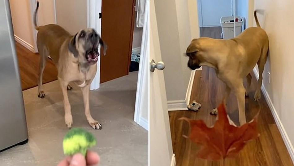Compran un perro gigantesco para que cuide su casa, pero le teme a todo: Lo llaman
