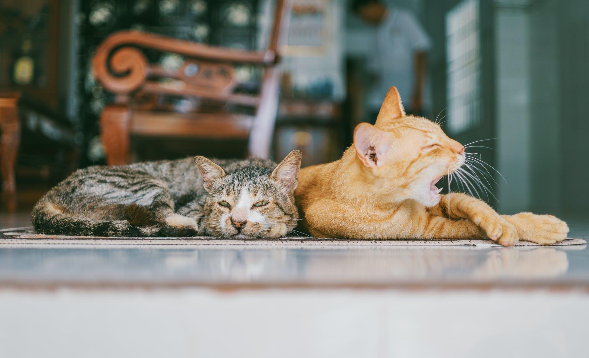 Gatos acostados