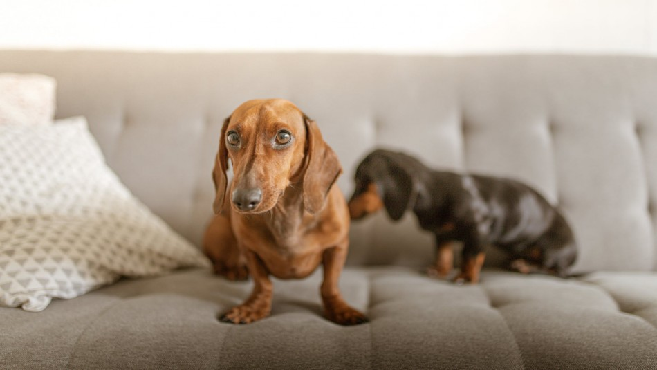 ¿Vives en departamento? Estas son las mejores 10 razas de perros para espacios pequeños