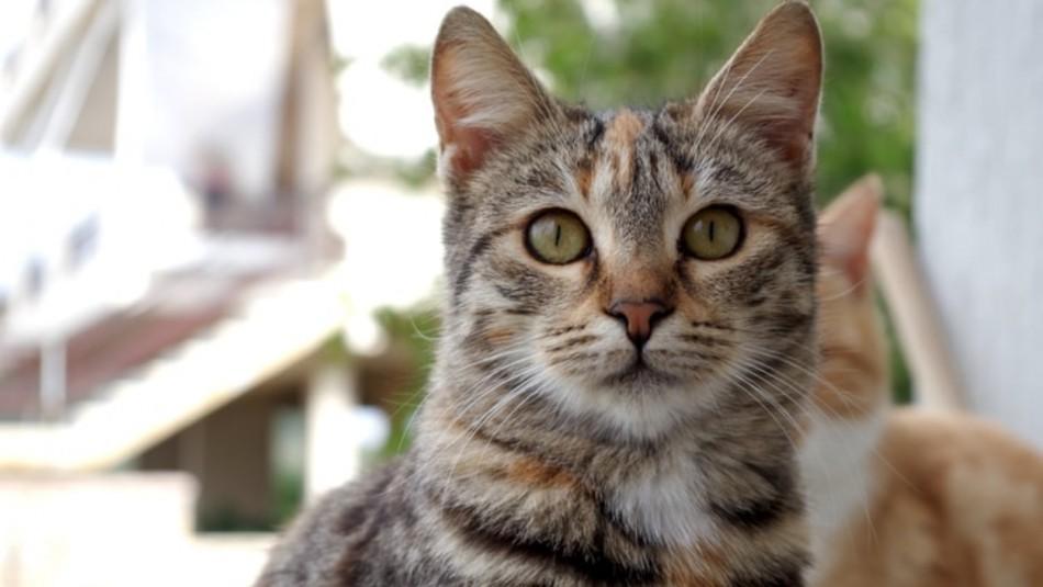 ¿Sabes cuál es la raza del gato que está en tu hogar?