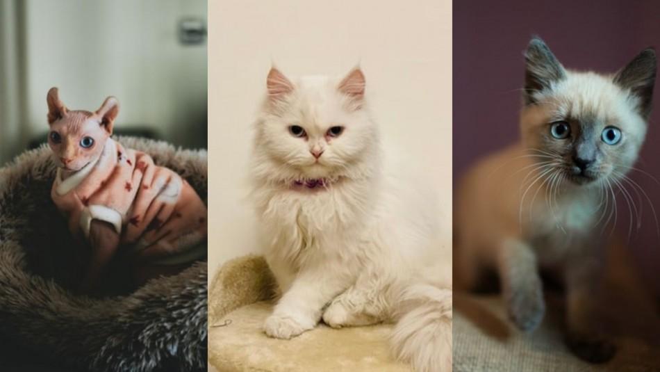 Las 7 razas de gatos más comunes en Chile