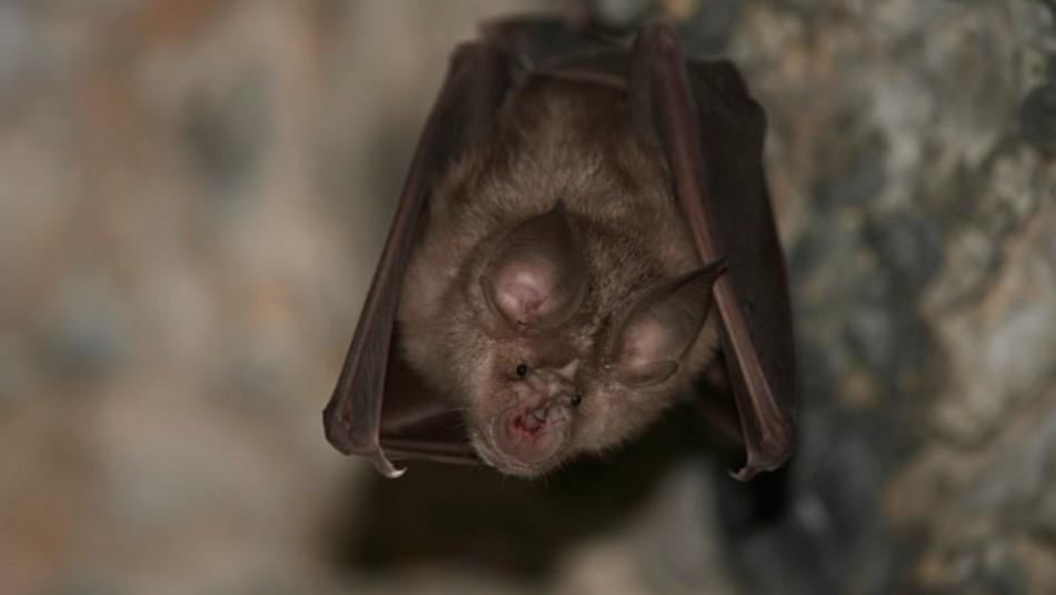 ¿Dónde será la próxima pandemia? Estudio asegura que la población de murciélagos tiene la clave