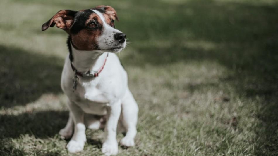 Leptospirosis: La bacteria que tiene en alerta a los dueños de perros